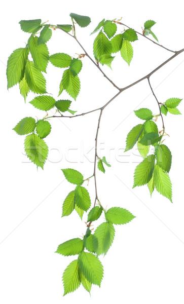Faág ág zöld levelek izolált fehér Stock fotó © Givaga