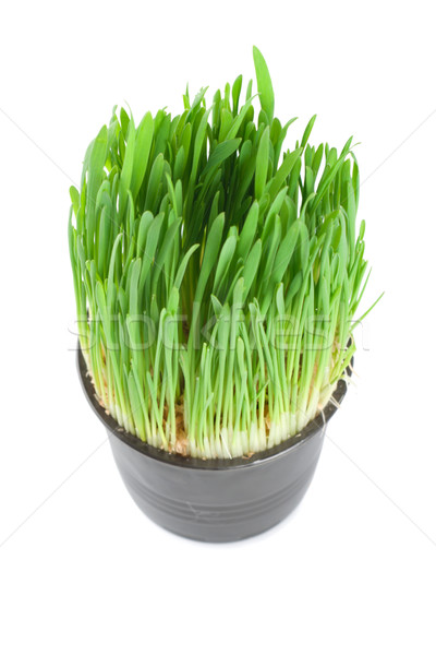 Green grass in a pot isolated Stock photo © Givaga