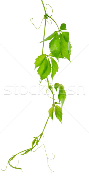 Grape vine leaves Stock photo © Givaga