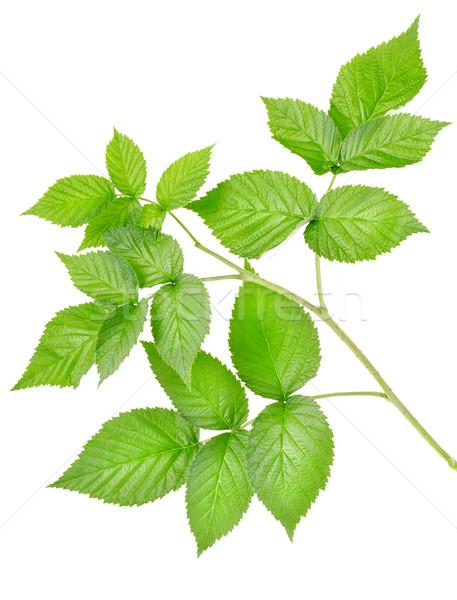 Ramo lamponi isolato bianco foglia foglie Foto d'archivio © Givaga