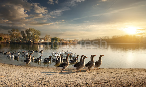 Flock of geese Stock photo © Givaga