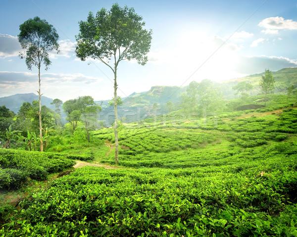 Fog over tea plantations Stock photo © Givaga