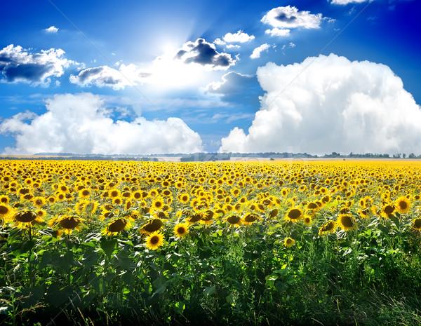ひまわり 空 フィールド 青空 風景 ストックフォト © Givaga