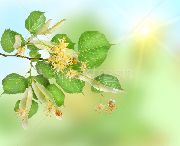 Background of a linden garden Stock photo © Givaga