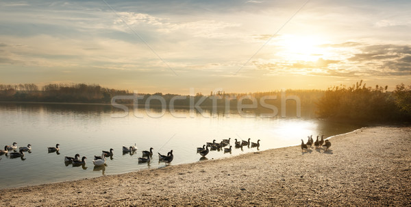 Geese on the pond Stock photo © Givaga