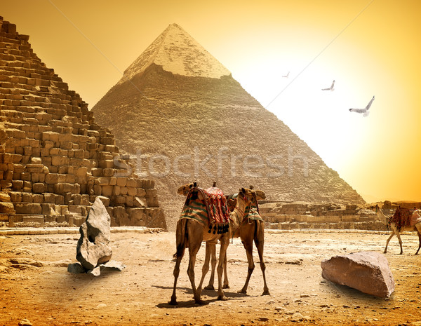 Camels and pyramids Stock photo © Givaga