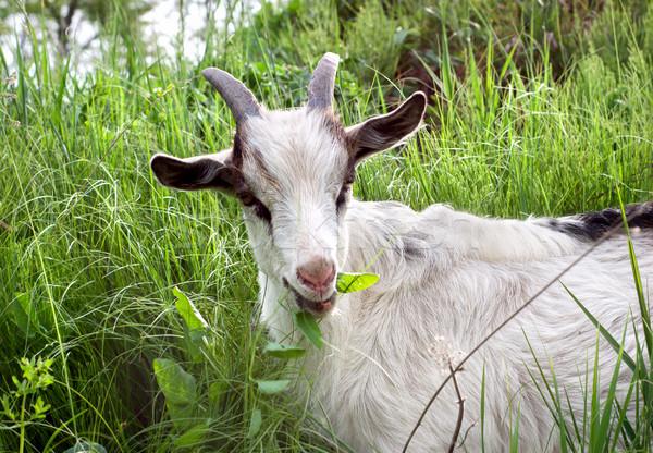 Goat Stock photo © Givaga