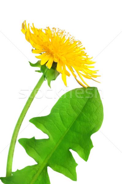 Pissenlit fleur isolé blanche Photo stock © Givaga