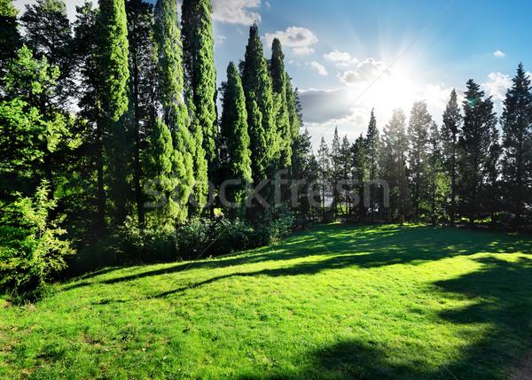 サイプレス 公園 緑 晴れた 夏 日 ストックフォト © Givaga