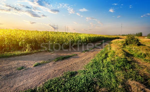 подсолнухи закат небе трава Сток-фото © Givaga