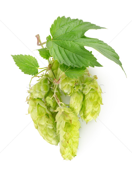 Branch of hops Stock photo © Givaga