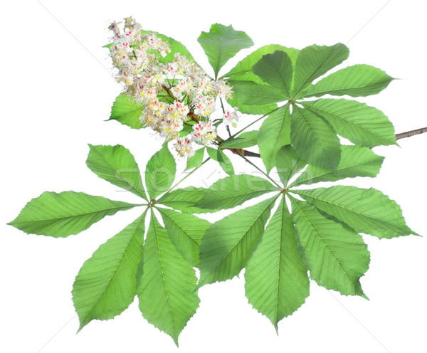 Branch of chestnut isolated Stock photo © Givaga