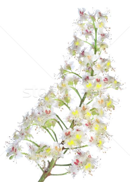 栗 支店 花 孤立した 白 ストックフォト © Givaga