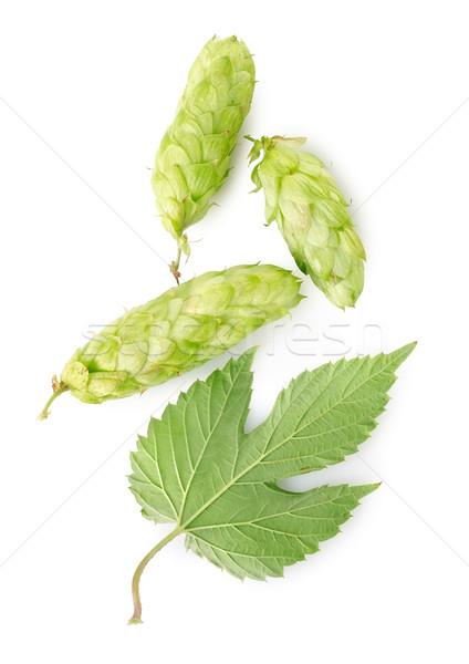 Hop foglia isolato bianco ramo crescita Foto d'archivio © Givaga