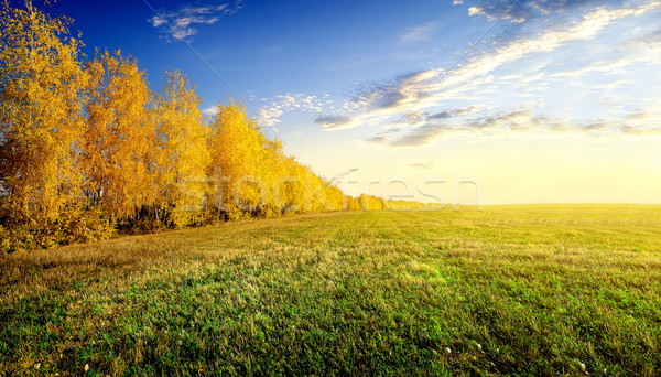 Birches on field Stock photo © Givaga