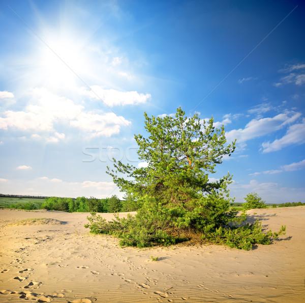 Kiefer Wüste grünen Nachmittag Sonne Landschaft Stock foto © Givaga