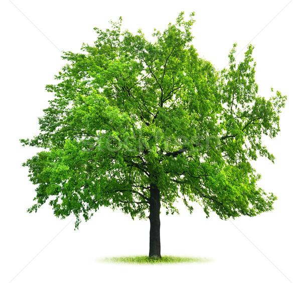 Stock photo: Big green oak