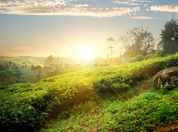 Sol chá plantação Sri Lanka céu árvore Foto stock © Givaga