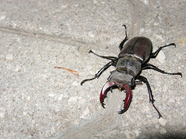 Common stag beetle Stock photo © Glasaigh