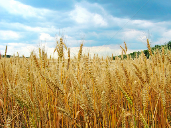 The wheat field Stock photo © Glasaigh