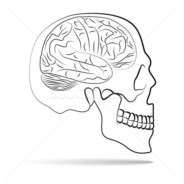 skull with brain Stock photo © glorcza