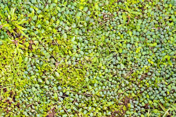 Belo grama verde abstrato natureza paisagem fundo Foto stock © Gloszilla