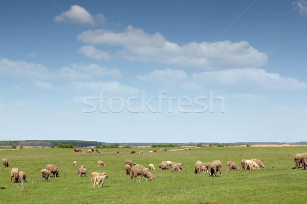 Birka tehenek testtartás tavasz természet zöld Stock fotó © goce