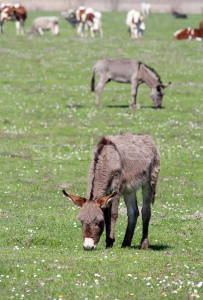 donkeys on pasture farm scene Stock photo © goce