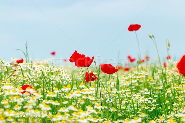 Amapola manzanilla flores silvestres primavera temporada cielo Foto stock © goce