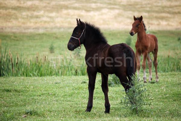 Siyah kahverengi tay alan çim doğa Stok fotoğraf © goce