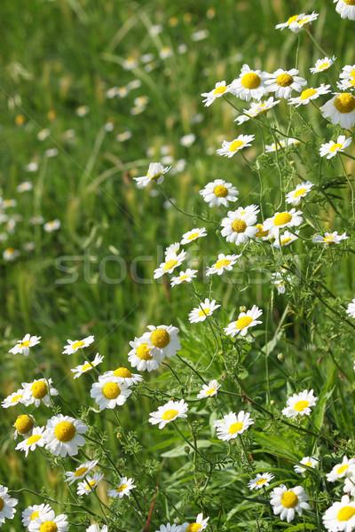 Manzanilla flores silvestres primavera temporada naturaleza verano Foto stock © goce