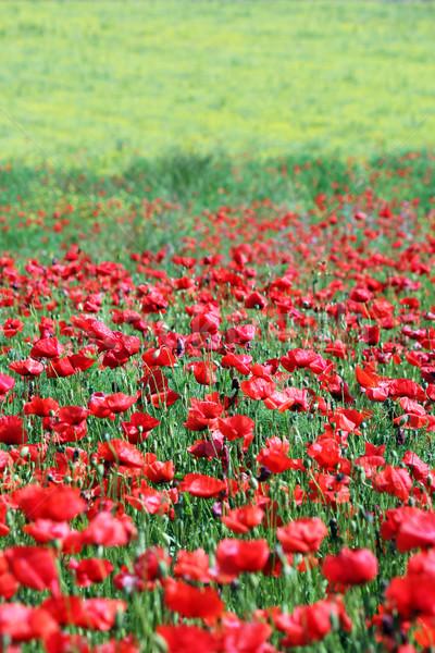 Coquelicots champ de fleurs printemps nature été Photo stock © goce