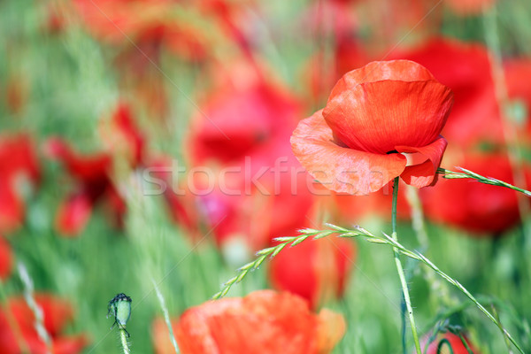 red poppies flower close up springtime Stock photo © goce