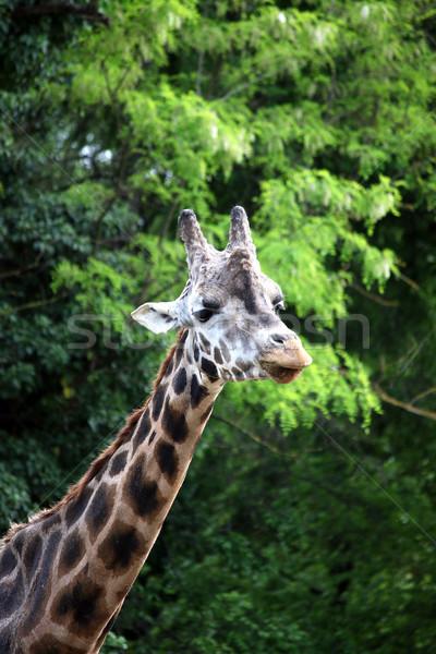 Giraffa foresta ritratto fauna selvatica natura estate Foto d'archivio © goce