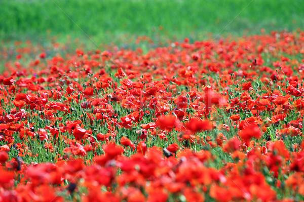 red poppy flower meadow spring season Stock photo © goce