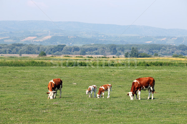 cows and calf on pasture summer season Stock photo © goce