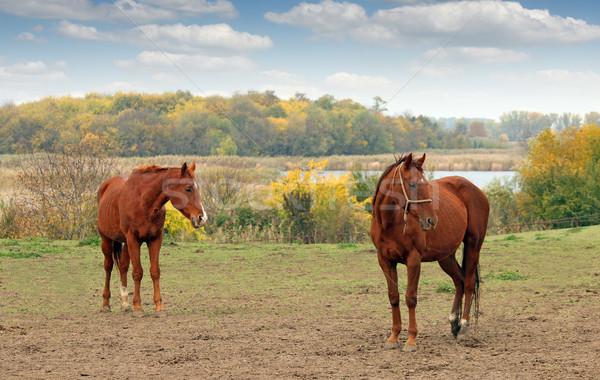 two brown horse on pasture autumn season Stock photo © goce