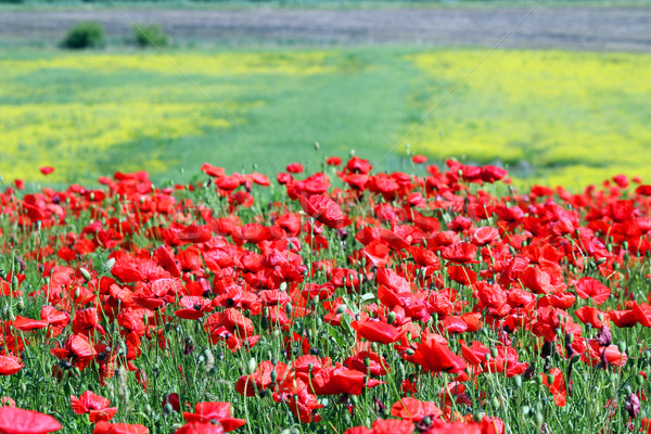 poppies flower meadow country landscape  Stock photo © goce