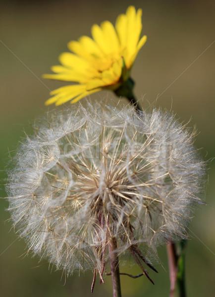 dandelion close up nature background Stock photo © goce