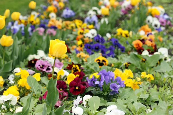 tulip and pansy flower garden Stock photo © goce
