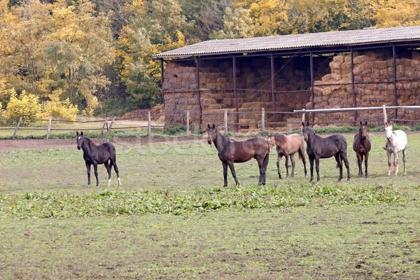 Stockfoto: Paarden · boerderij · huis · natuur · paard