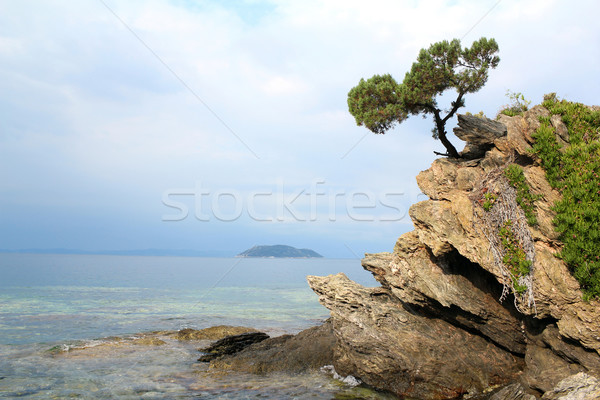 pine tree on a rock Stock photo © goce