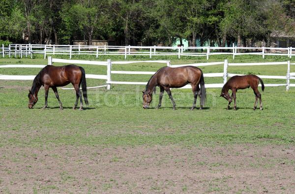 Stock photo: horses and foal on farm