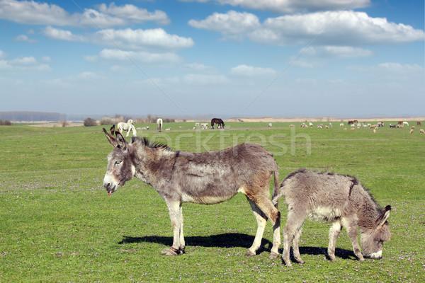 сельскохозяйственных животных пастбище небе лошади пейзаж зеленый Сток-фото © goce