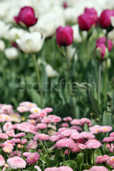 daisy and tulip flower nature background Stock photo © goce