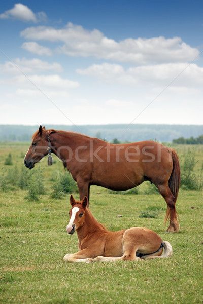 foal and mare on pasture Stock photo © goce