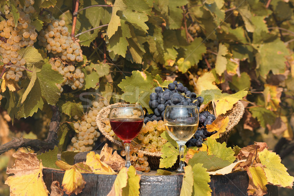 vineyard with red and white wine autumn season Stock photo © goce