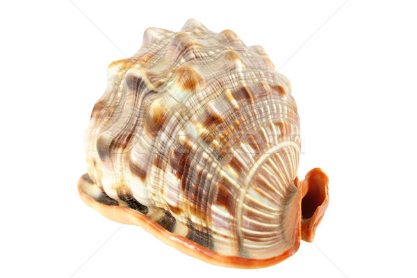 shell isolated on white  Stock photo © goce