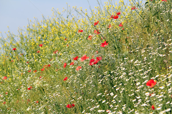 meadow with wild flowers nature background Stock photo © goce