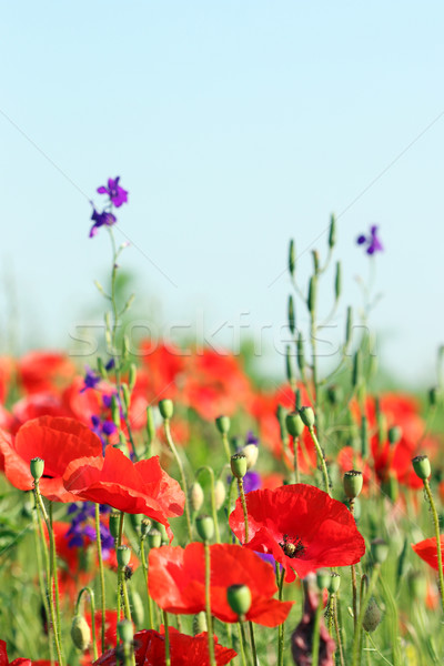 Red poppies flower spring season Stock photo © goce